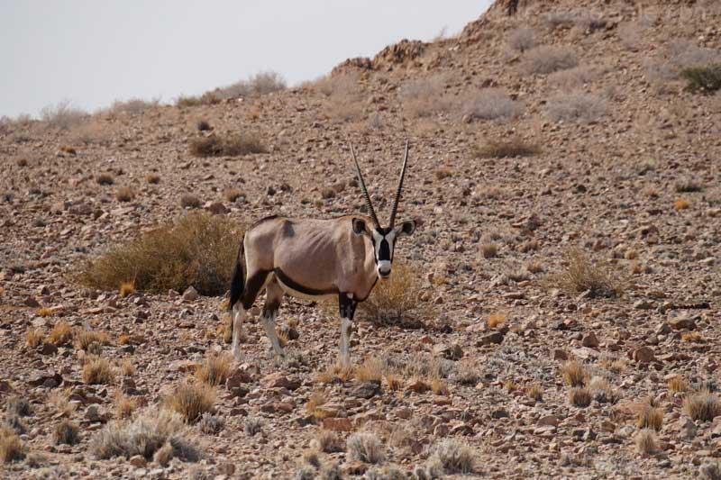 Oryx an der Strasse von Sossusvlei nach Solitäre
