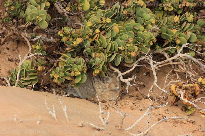 Kaphase in der Wüste bei Swakopmund