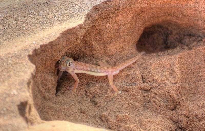 Sandgecko beim Eingraben