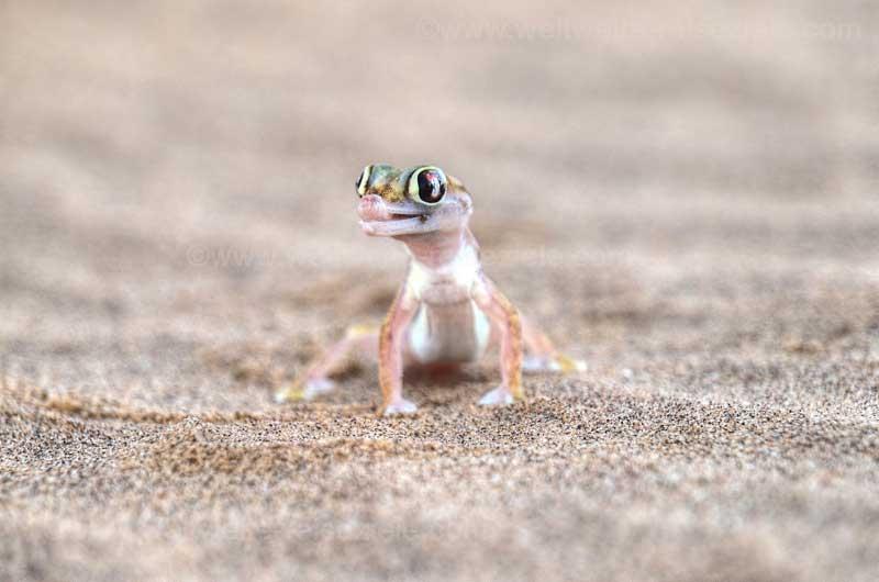 Sandgecko Wüste von Swakopmund