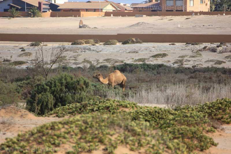 Dromedar in der Wüstengegend südlich von Swakopmund