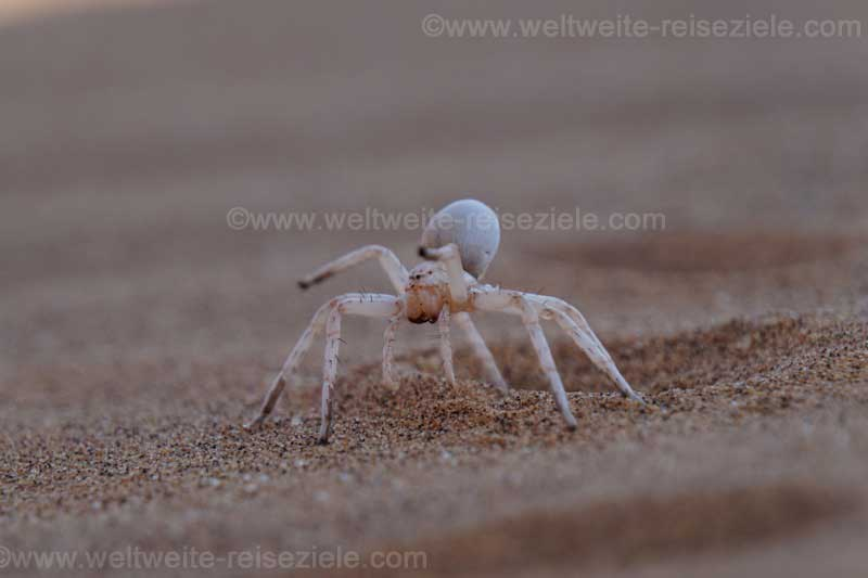 Albino Spinne in der Wüste