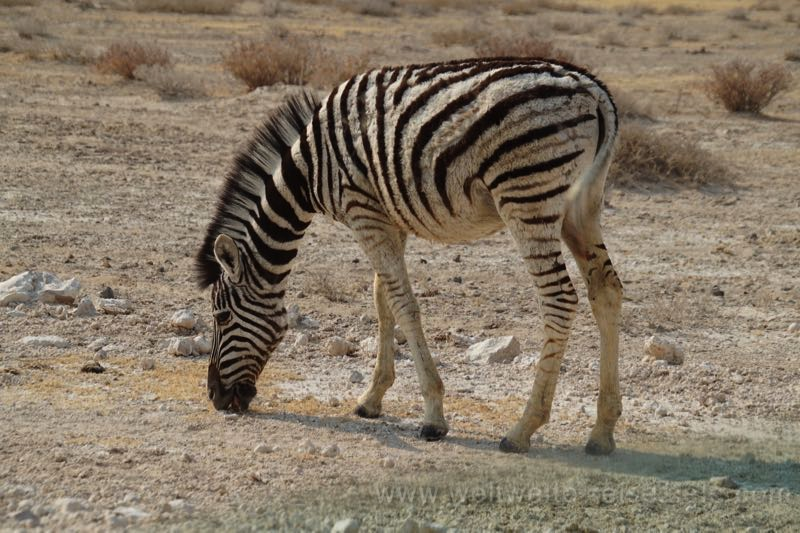 Junges Zebra im Nationalpark, Namibia