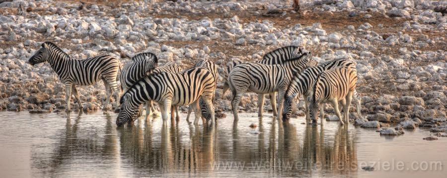 Zebra Herde am Okaukuejo Wasserloch