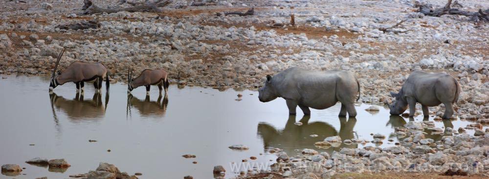 Zwei Nashörner und zwei Oryx am Okaukuejo Wasserloch, Etosha Nationalpark