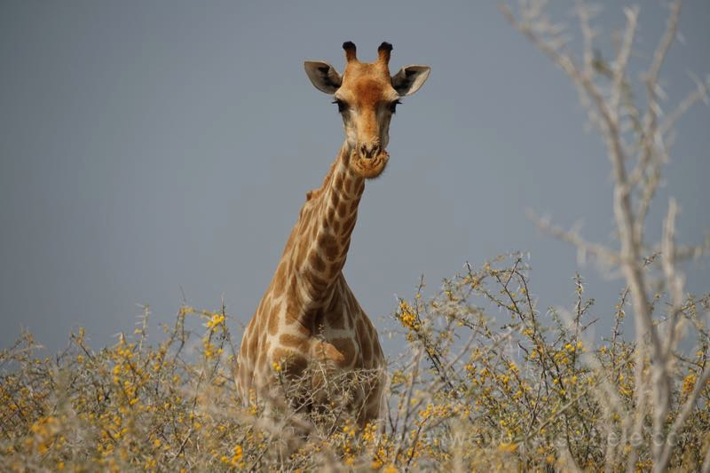Giraffe in Akazien, Etoscha Nationalpark