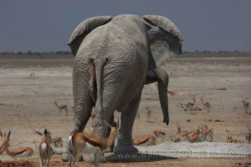 Grosser Elefantenbulle am Nebrownii Wasserloch, Etosha, Namibia