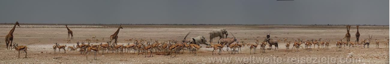 Panoramafoto vom Nebrownii Wasserloch, mit Springböcken, Elefanten und Giraffen.