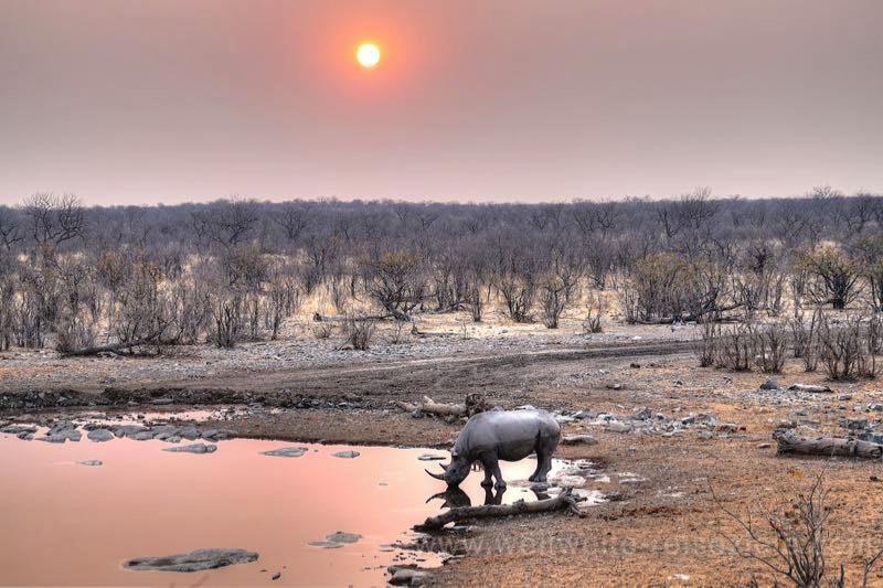Spitzmaul Nashorn bei Sonnenuntergang am Halali Wasserloch