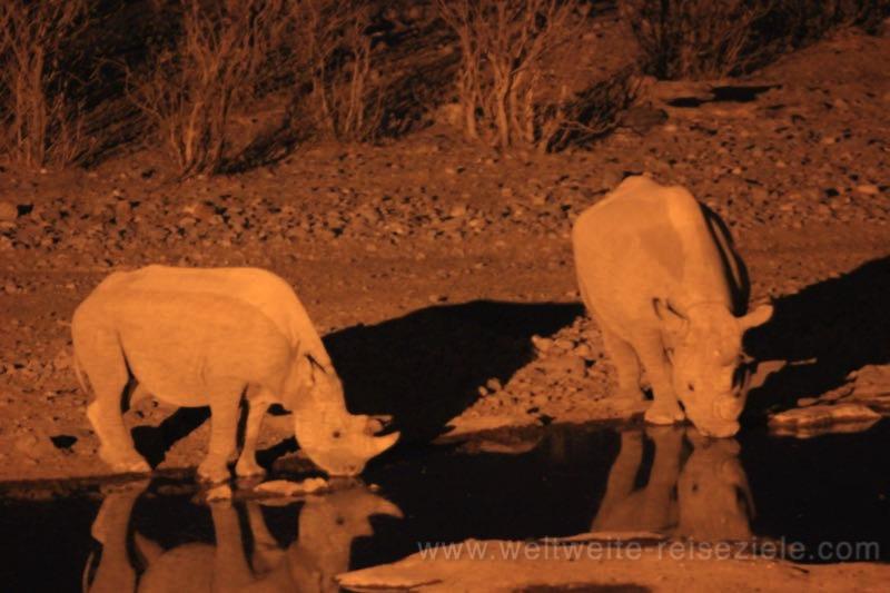 Spitzmaulnashorn Kuh mit halbwüchsigem Jungen am späten Abend am Halali Wasserloch, Etoscha