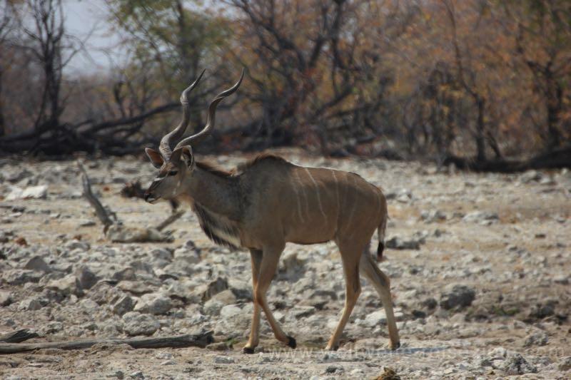 Kudu Antilope am Wasserloch, Etosha, Namibia