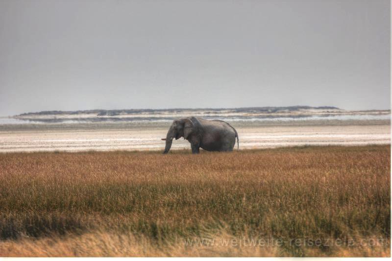 Grosser Elefant im hohen Gras vor der Etoscha Pfanne