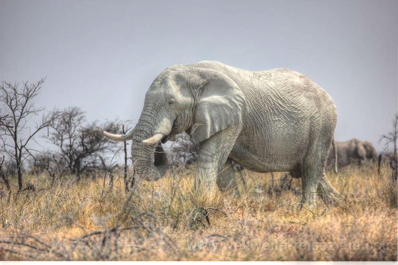 Weisser Elefant im Etosha Natinalpark