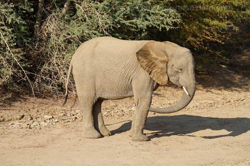 Jüngerer Wüstenelefant, Brandberg
