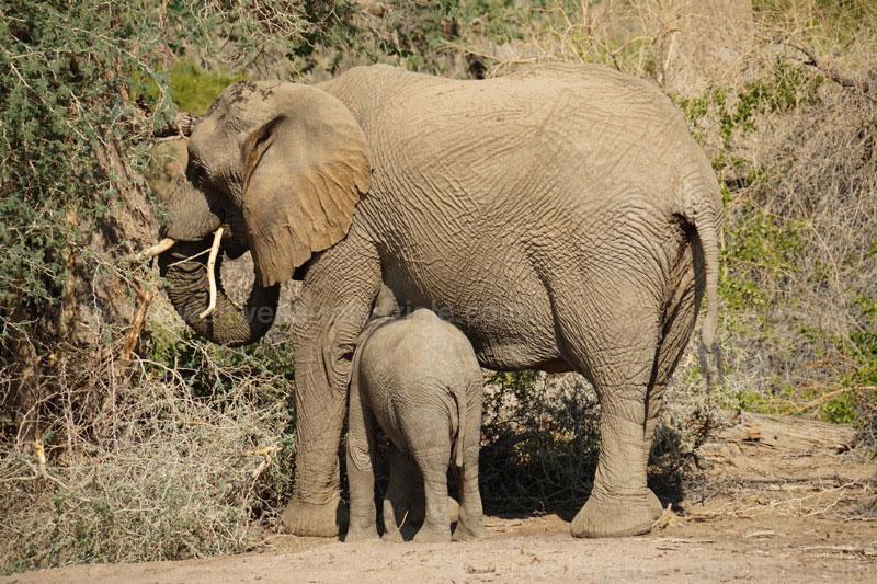 Elefanten Baby trinkt bei seiner Mutter, White Lady, Brandberg