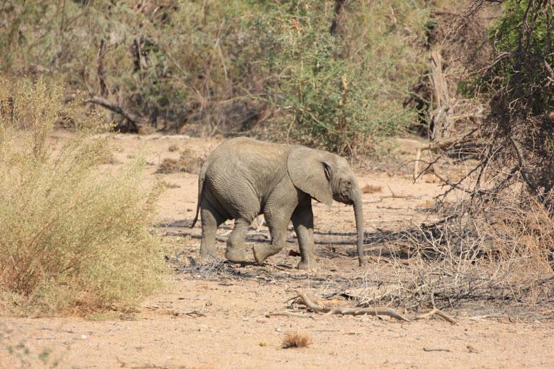 Wüstenelefantenbaby, Namibia Branberg