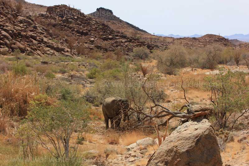 Wüstenelefant, Tal im Brandbergmassiv