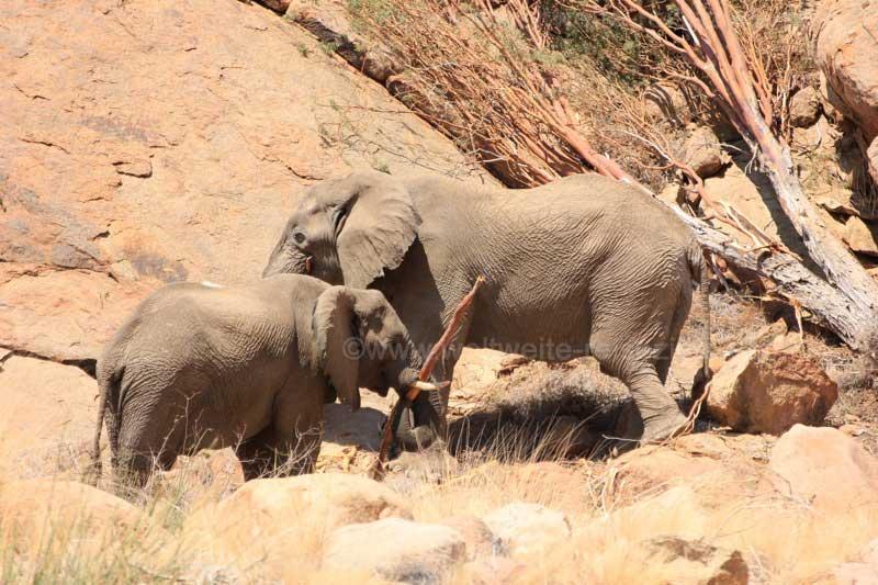 Zwei Wüstenelefanten Bullen beim Fressen, Wanderweg White Lady Felszeichnungen, Brandberg