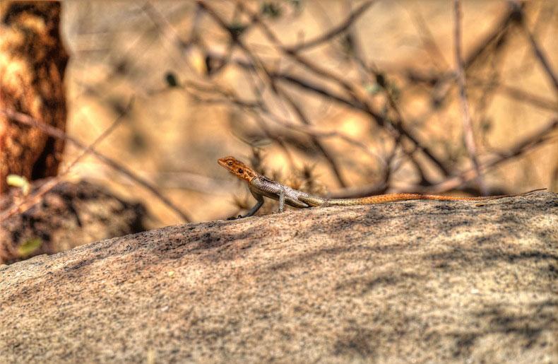 Echse in einem Tal beim Brandberg, Namibia