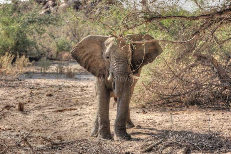 Elefantenbulle bei der White Lady Lodge, Namibia