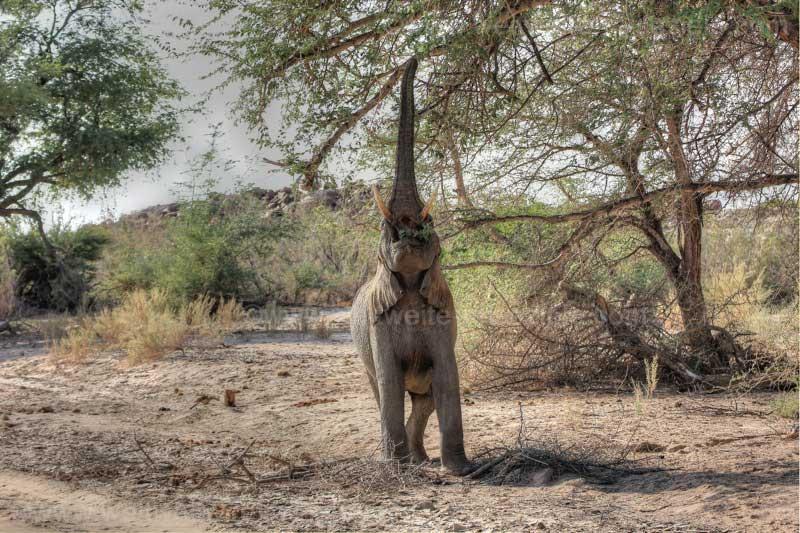 Wüstenelefant im Flussbetts bei der White Lady Lodge