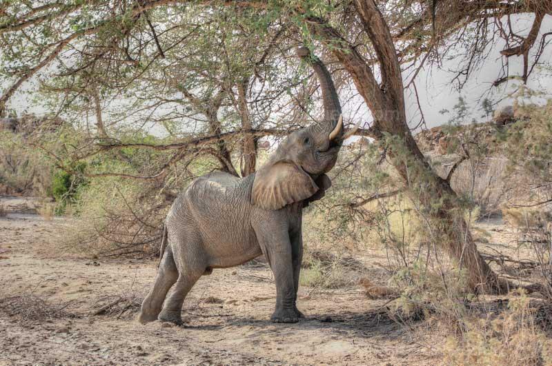 Fressender Wüstenelefantenbulle, Brandberg, Namibia