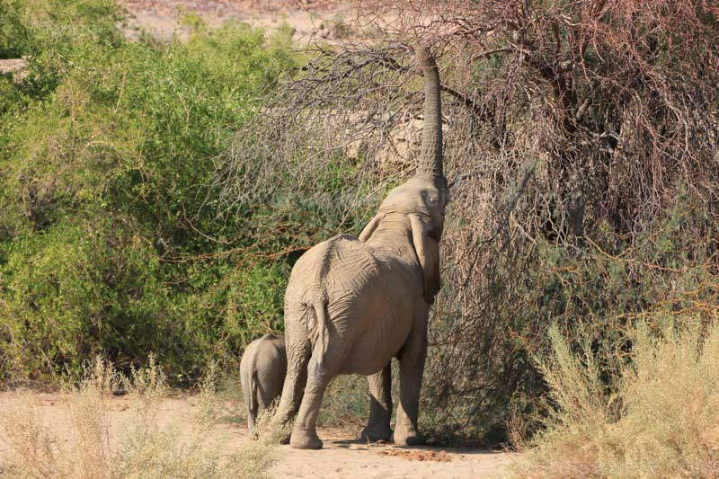 Elefanten Mutter mit Baby, Brandberg, Namibia