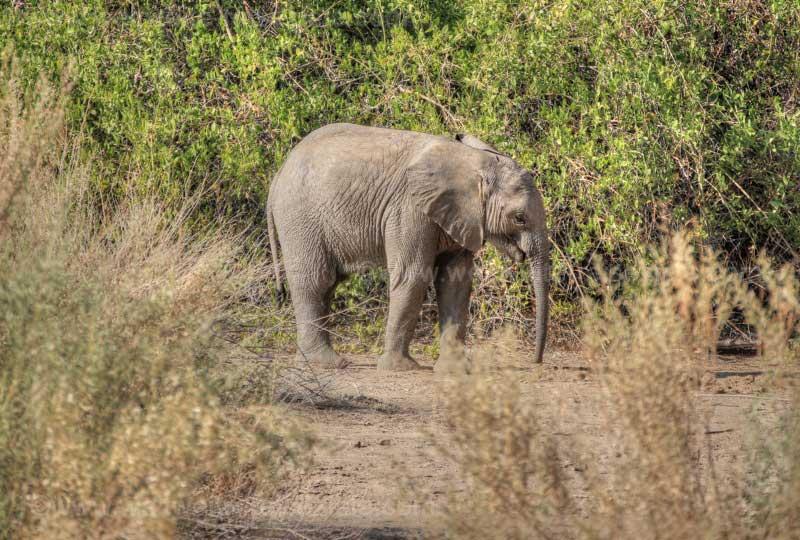 Kleiner Wüstenelefant, Brandberg