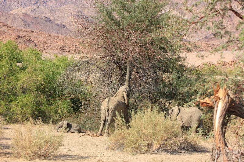 Wüstenelefantenfamilie beim Fressen, White Lady Lodge