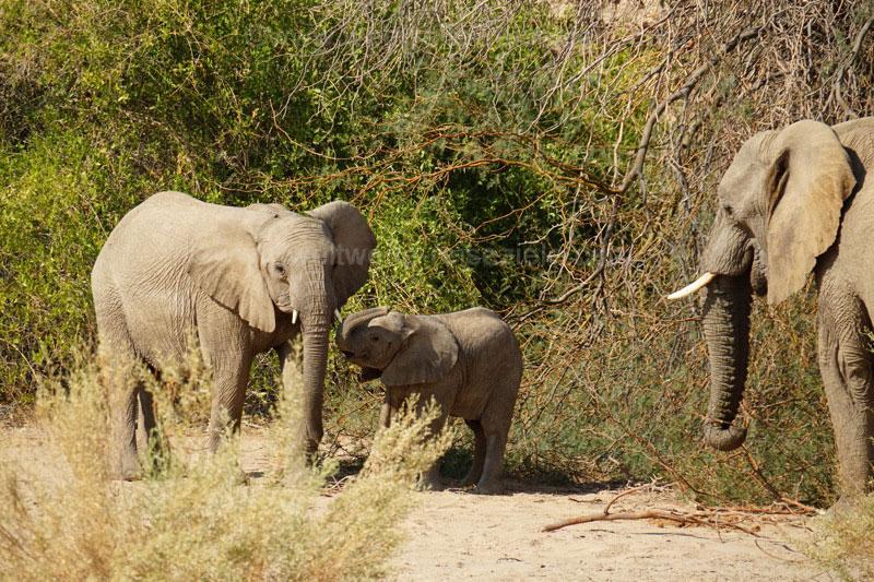 Familie von Elefanten, White Lady