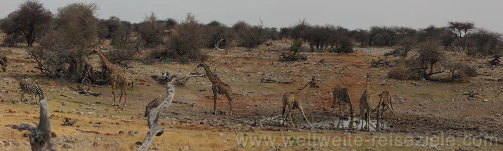 Groot Okevi Wasserloch mit Giraffen, Etosha NP