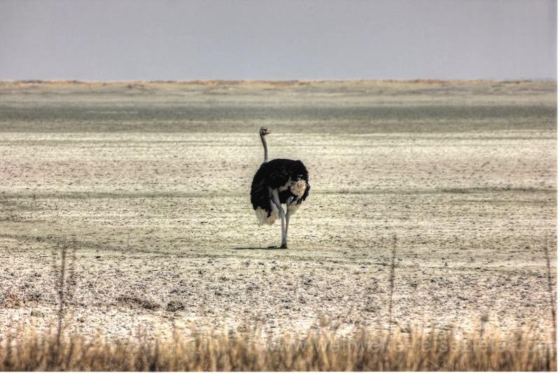Vogel Strauß im östlichen Teil der Etosha Pfanne