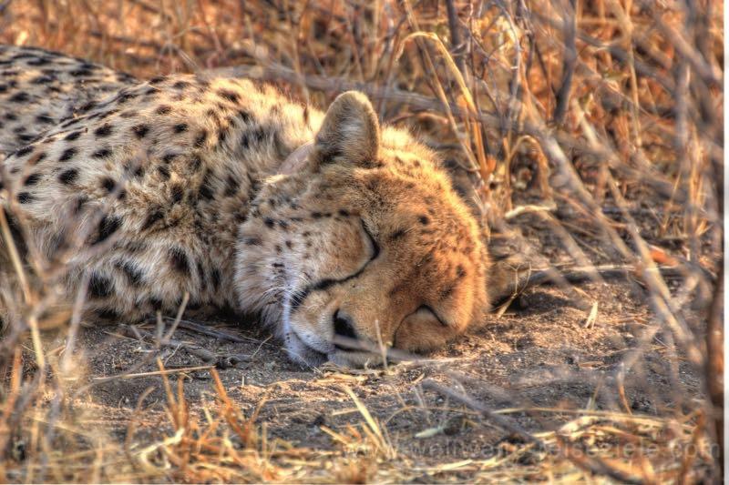 Schlafender Gepard, Okonjima Lodge, Namibia