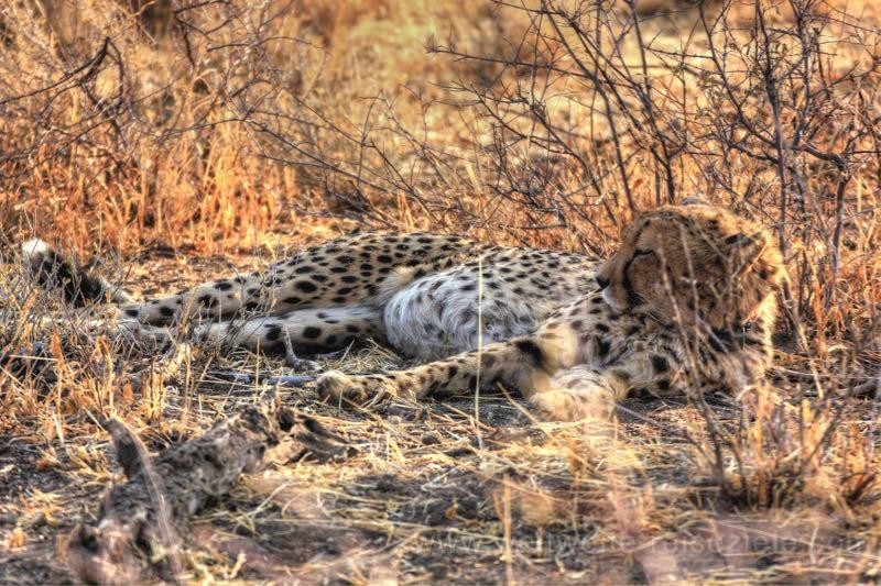 Gepard auf der Exkursionen der Okonjima Lodge, Namibia