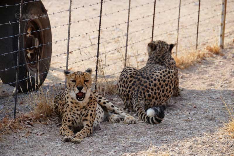 Zwei der Geparden der Otjitotongwe Cheetah Guestfarm