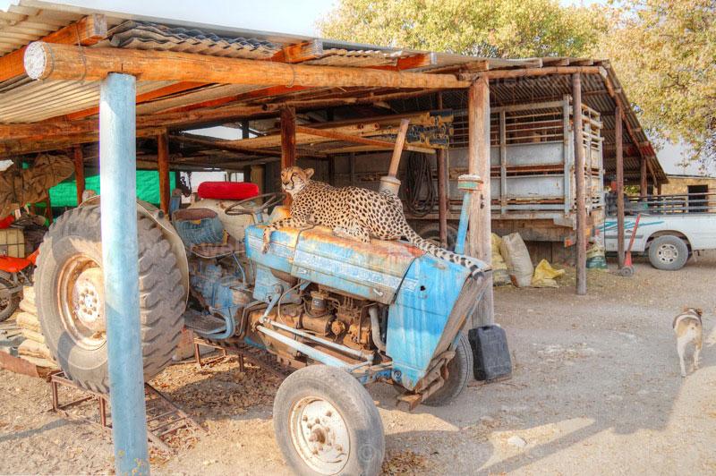 Ein Gepard liegt auf einem alten Traktor