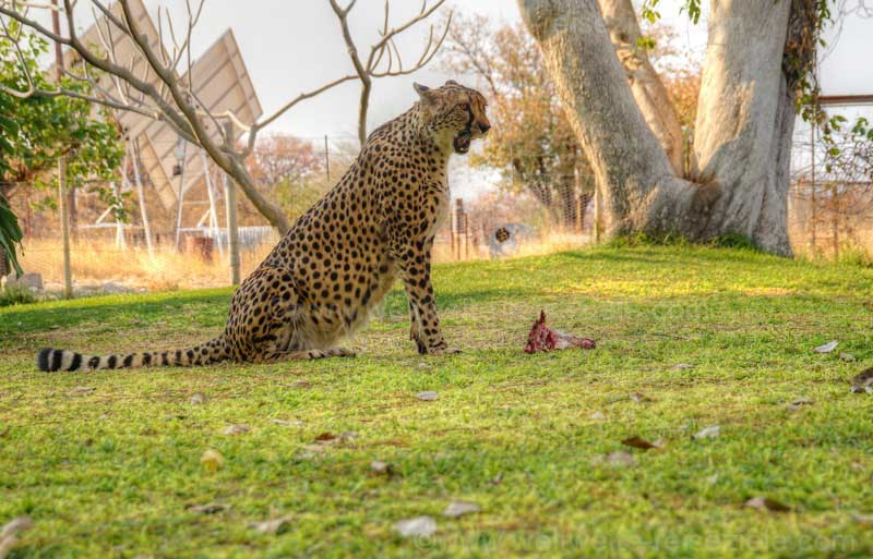 Die Geparden werden gefüttert, Otjitotongwe Cheetah Guestfarm