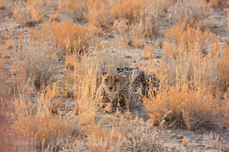 Halbwilder Gepard im Gras der Steppe