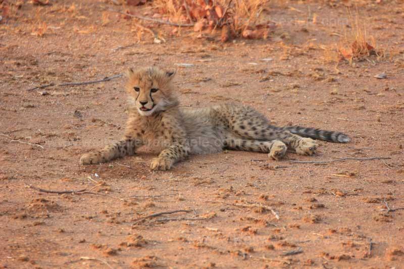 Junger Gepard Foto Otjitotongwe Cheetah Guest Farm