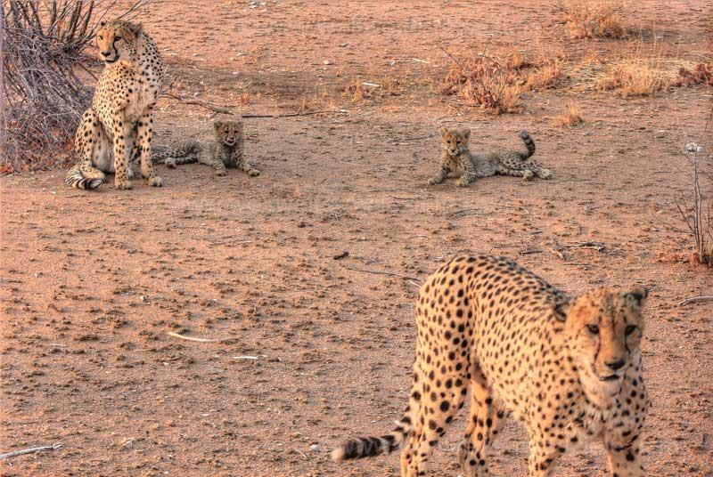 Zwei erwachsene Geparden und zwei Junge, Otjitotongwe Cheetah Guestfarm