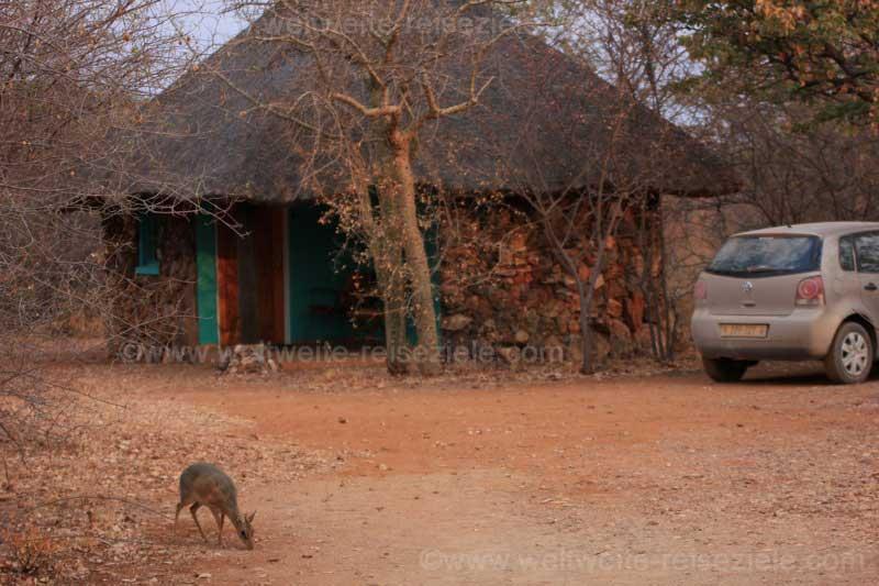 Chalet der Otjitotongwe Geparden Guestfarm, davor ein Damara DickDick