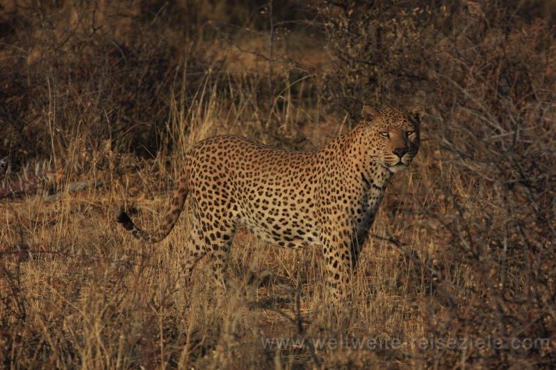 Leopard aus der Nähe bei der Exkursion, Okonjima Lodge, Namibia