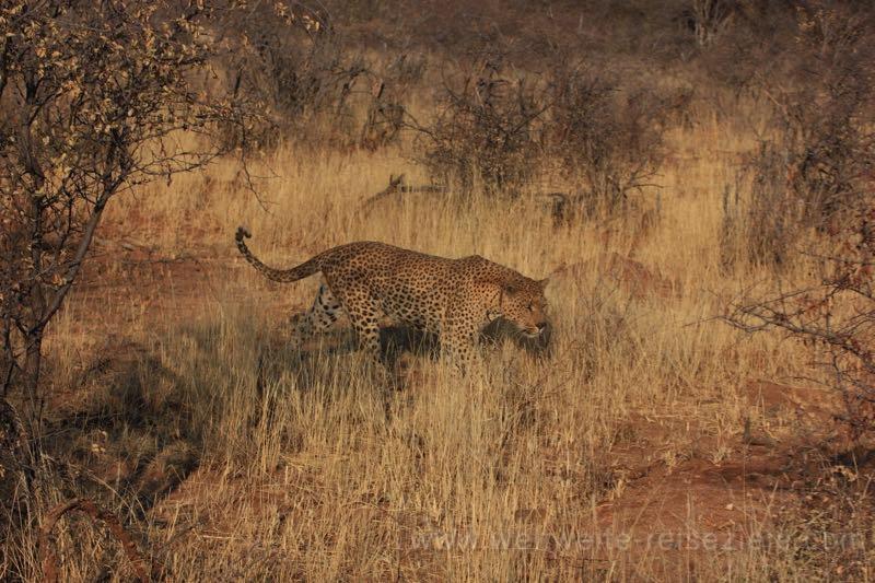 Leopard in der Gras und Buschlandschaft der Okonjima Lodge