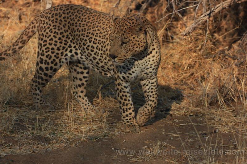 Leopard Ausflug, Okonjima Lodge, Namibia