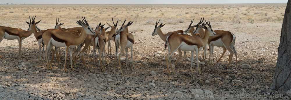 Springböcke im Schatten eines Baumes, Etoscha Nationalpark