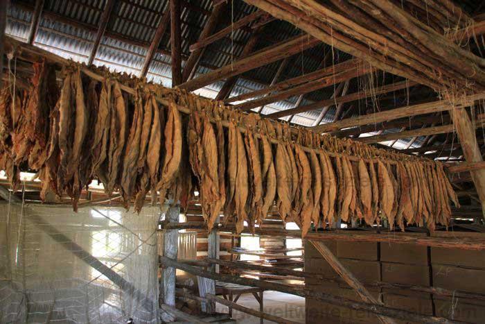 Trocknende Tabakblätter in einer Tabakplantage bei Pinar del Rio