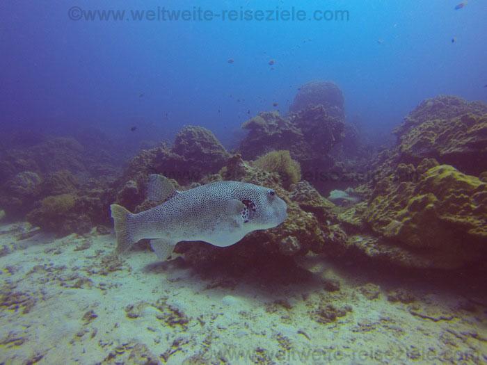 Grösserer Fisch vor Redang