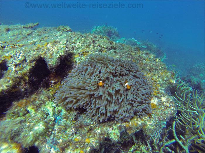 Clownfische in ihrer Anemone