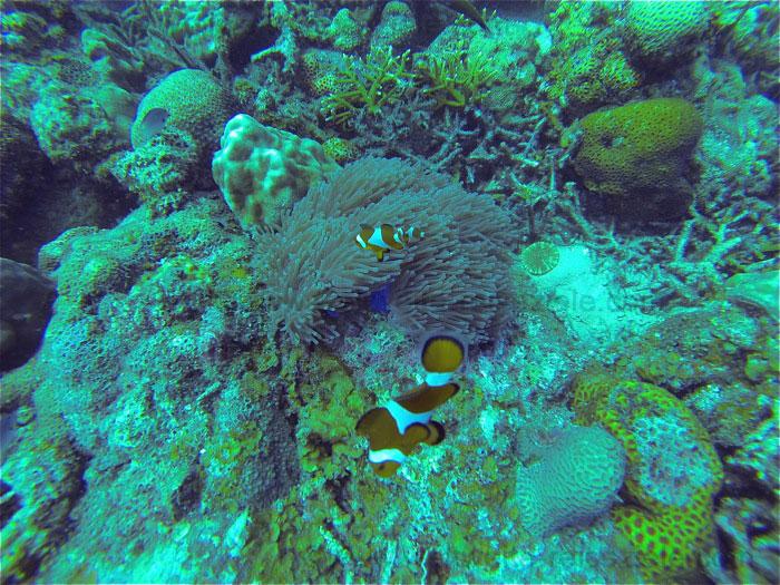 Clownfische in ihrer Anemone, Redang