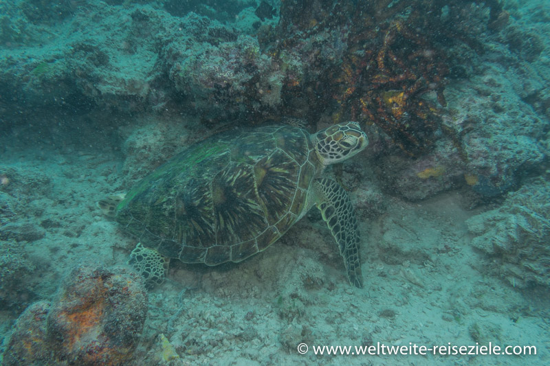 Schildkröte beim Tauchen im Norden von Sansibar